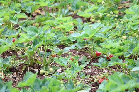 wann erdbeeren pflanzen erdbeeren pflanzen wann und wie erdbeeren setzt