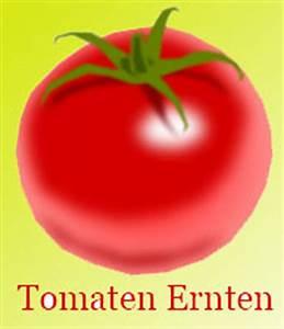 Wann Erntet Man Knoblauch : tomaten erntezeit wann tomate ernten ~ Lizthompson.info Haus und Dekorationen