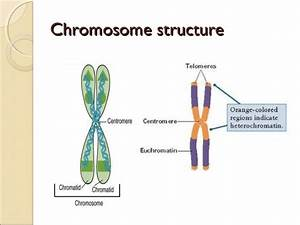 Chromosomes And Cell Cycle