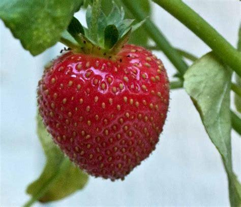Vertical Gardening Strawberries by August 2013 Backyard Tower Garden