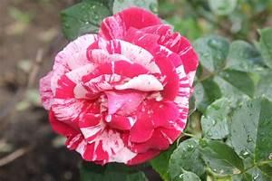 Rosenbeet Mit Stauden : passende stauden und gr ser im rosenbeet unterstreichen die sch nheit der rosen der feuerrote ~ Frokenaadalensverden.com Haus und Dekorationen
