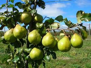 DWARF PEAR Garden Belle®  Pear