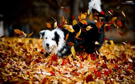 Fall Backgrounds Dogs by Autumn Play Dogs Wallpapers 1680x1050