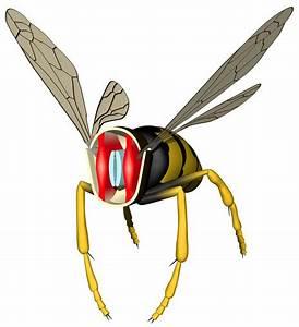 Ichneumon Wasp Flight Muscles Diagram