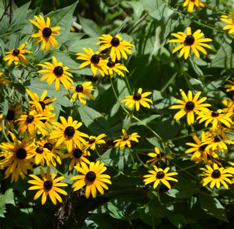 black eyed susan black eyed susan free stock photo public domain pictures