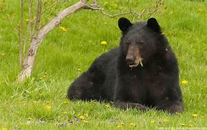 Interesting facts about the American black bear | Just Fun ...