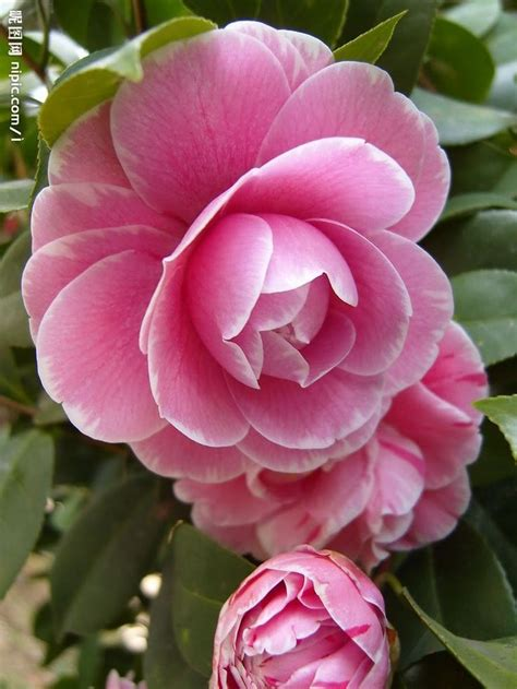 types of camellia flowers 558 best name that flower types of flowers images on pinterest