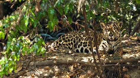 Jaguar Safari & Jaguar Holidays  Natural World Safaris