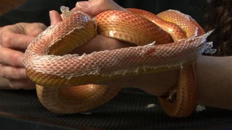corn snake shedding problems how to trouble shoot problems with your corn snake