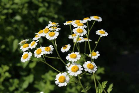 pflanzen gegen fieber wildkr 228 uter f 252 r jedes wehwehchen eine 220 bersicht