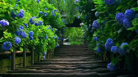 staircase hydrangea leaves flowers blue flowers