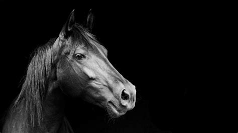 black  white animals horses grayscale