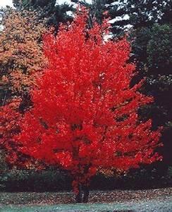 Roter Ahorn Baum : kanadischer rotahorn acer rubrum samen ~ Michelbontemps.com Haus und Dekorationen