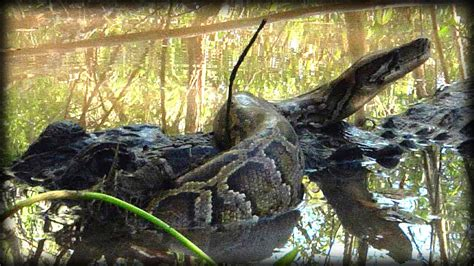 python shedding time lapse alligator attacks python 08 time lapse