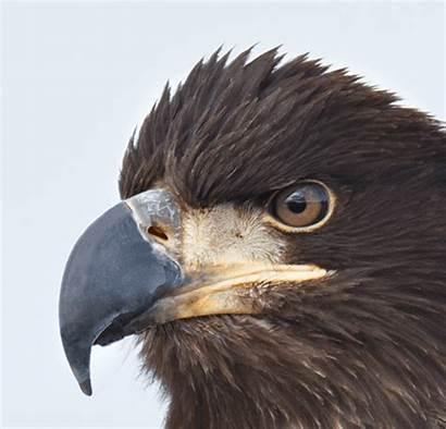 Birds Eagle Bald Animated Head Face Multiple