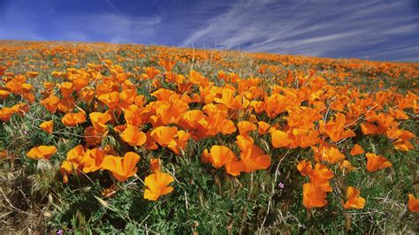flowers in california california drought caused plants to evolve in just seven