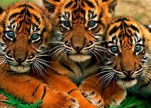 3 tigres devueltos a la selva mariela tv
