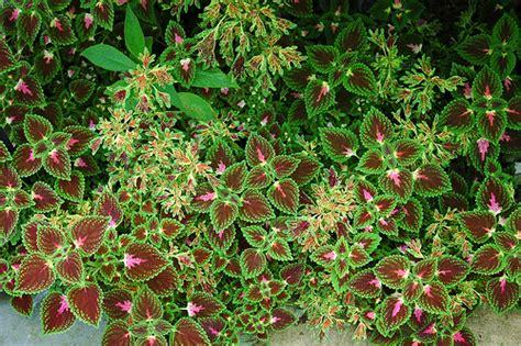 different varieties of coleus coleus varieties flickr photo sharing