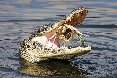 aligator cuisine alligator catching and cracking a blue crab by paulette