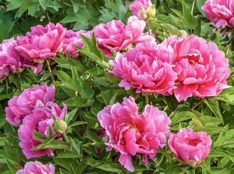 growing peonies growing peonies types of peonies peony plant care