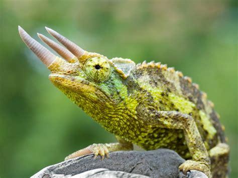 types of chameleons chameleon pictures lizard types