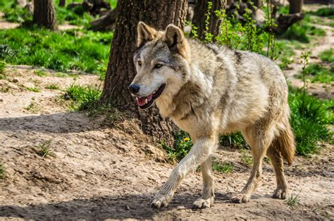 Chernobyl wolves — total animal 03:46. With no humans in radioactive Chernobyl, wolves are in ...