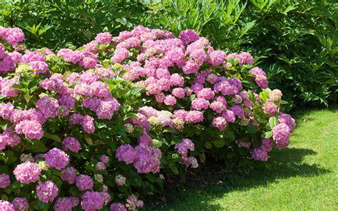 perennial bushes how to divide perennial plants and split oversize shrubs david domoney