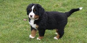 Berner Sennenhund Gewicht : berner sennenhund finks hundewelt ~ Markanthonyermac.com Haus und Dekorationen