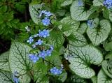 Brunnera macrophylla 'Jack Frost' (Kaukasisch vergeet-mij ...