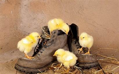 Funny Wallpapers Animals Chickens Comedy Chicken Iphone
