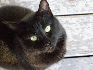 black cat breeds mixed breed black cat picture 6492 pet gallery