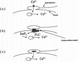 The Three Models Of Egg Activation   A  The Calcium Bomb Model  U2013