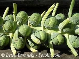 Blumenkohl Pflanzen Abstand : rosenkohl de la halle br sseler kohl 50 samen michis samen ~ Whattoseeinmadrid.com Haus und Dekorationen