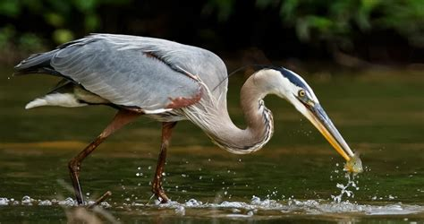 Great Blue Heron Identification, All About Birds, Cornell ...