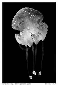 Black and White Picture/Photo: Blue jellyfish, Monterey ...