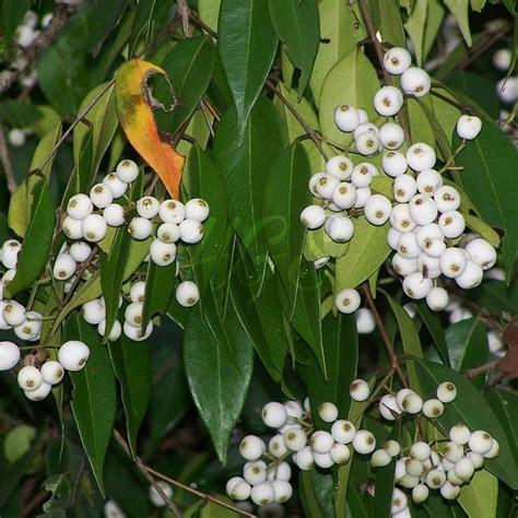 jual bibit tanaman buah jambu nasi nasi di lapak hgs kipli suf
