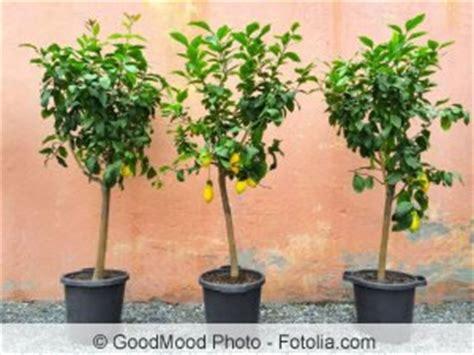 zitronenbaum zuechten anzucht aus kernen und ablegern