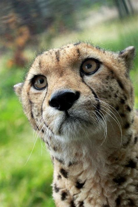 images  cheetah  pinterest parks zoos