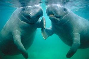 Miami Development Plans Stopped By Outcry Over Manatees ...
