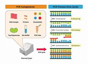 Polymerase Chain Reaction  Pcr  Key Principles