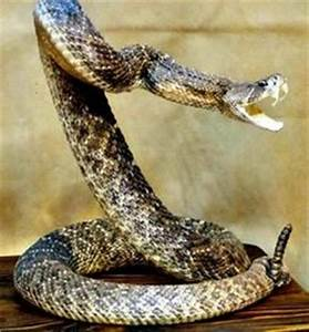 Snake Striking Side View | www.pixshark.com - Images ...