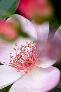 Sweet Pretty Rose : photo rosa sweet pretty rose by tina horst herzig photography pretty flowers beautiful ~ A.2002-acura-tl-radio.info Haus und Dekorationen