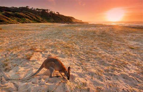 animals landscape beach sand kangaroos australia