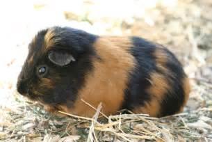 Black and Tan Guinea Pig