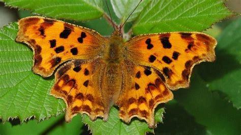 butterflies lay eggs