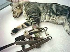 trap cat animals in traps nevadans for responsible