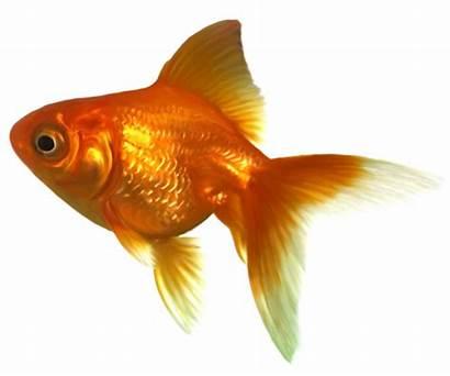 Goldfish Fish Clipart Realistic Golden Bowl Transparent