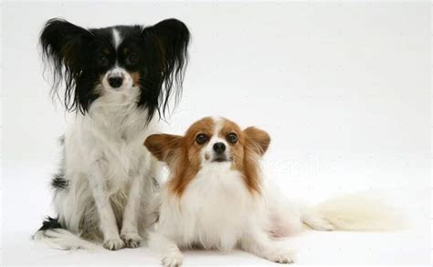 papillon breed information facts pictures temperament
