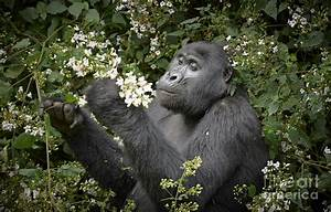 Mountain Gorilla Eating Flowers Photograph by Juergen ...