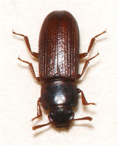 weevil bug confused flour beetle wikipedia
